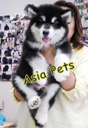 ALASKAN MALAMUTE Puppies  For Sale  ® 9911293906